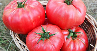 Mažos skanių ir sultingų pomidorų auginimo paslaptys