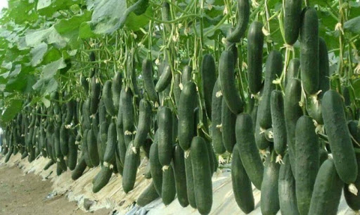 Atmintinė vasarai. Kiekvienas sodininkas žino:norint gauti gerą derlių, augalus reikia pakankamai maitinti. Bet kuo?