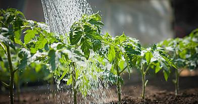 Žydinčių pomidorų tręšimas. Atskleistos visos paslaptys