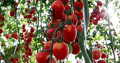 Išbandžiau pernai: šiltnamis lūžo nuo pomidorų – itin rekomenduoju