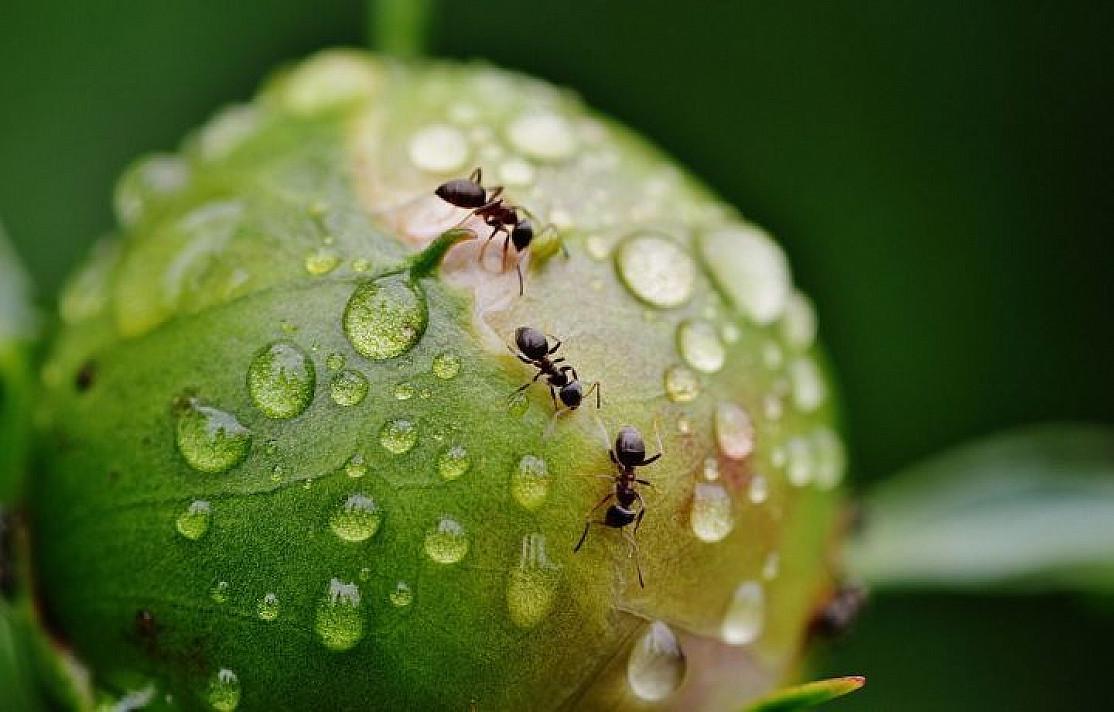 муравьи на грядке как избавиться
