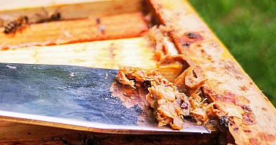 Kas yra propolis (bičių pikis), kokia jo nauda mums ir kaip jį vartoti