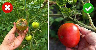 6 naminės priemonės, kaip apsaugoti pomidorus ir bulves nuo ligų. Paruoškite sveiką derlių!